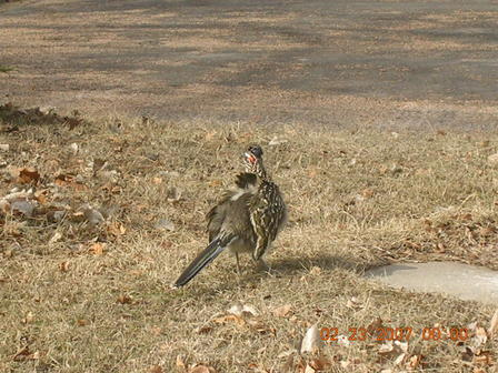 Roadrunner sunning himself