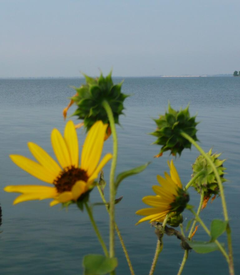 Sunflowers at Lake Waconda