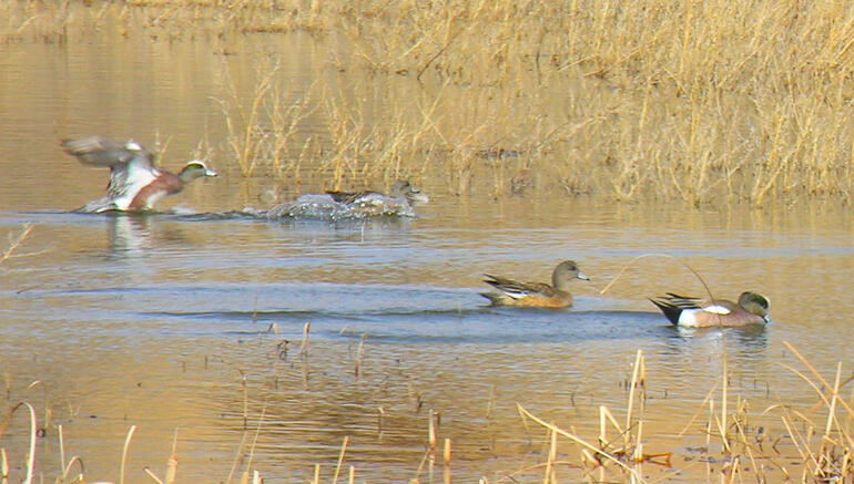 Webster Waterfowl