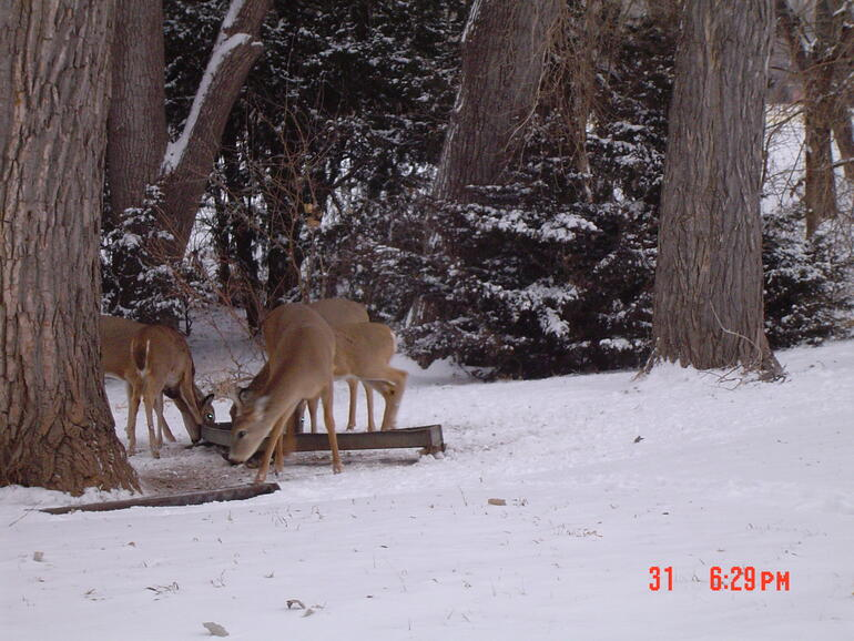 Deer feeding at Lake office feeder